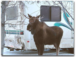 Moose Enjoying Golden Nugget RV Park