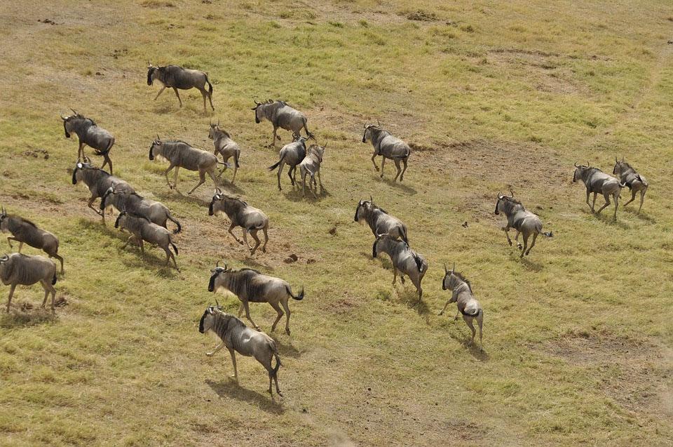 Masai Mara Wildebeast Migration
