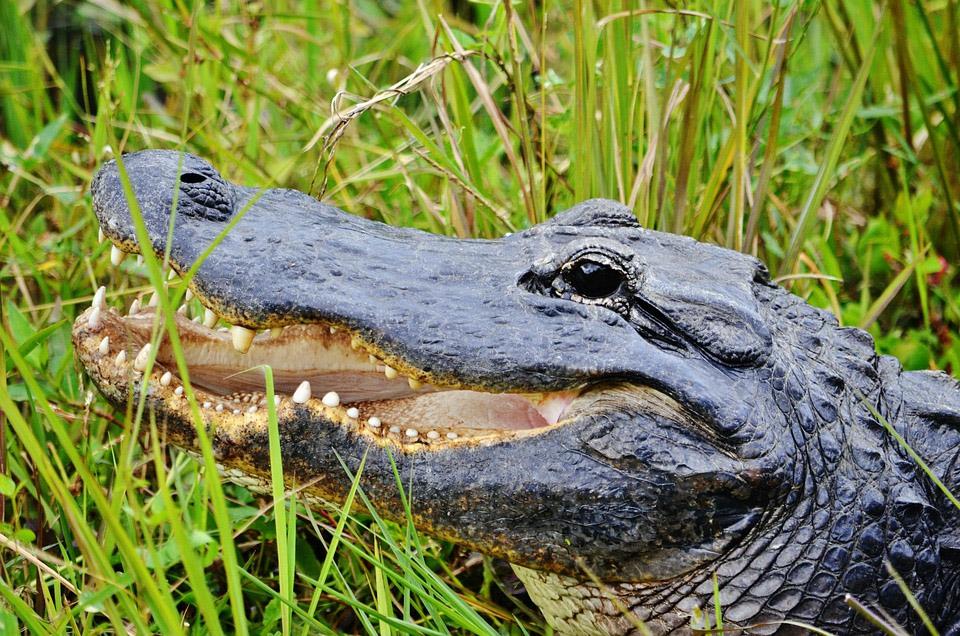 Miami Jungle Island Alligator
